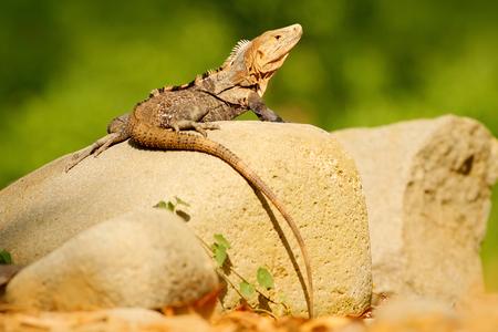 Lizard Black Iguana, Ctenosaura similis, sitting on stone. Wildlife animal scene from nature. Animal in Costa Rica. Summer day with lizard with long tail.