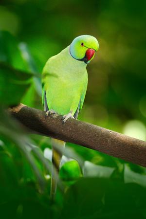 Green bird in the green vegetation. Parrot sitting on tree trunk with nest hole. Rose-ringed Parakeet, Psittacula krameri.