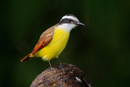 Great Kiskadee, Pitangus sulphuratus, bird from Costa Rica. Exotic tropical yellow tanager with white and black head, La Paz, Costa Rica.