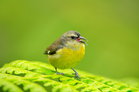 Bananaquit, Coereba flaveola, common bird from Costa Rica tropic forest. Bananaquit sitting on the green leave. Wildlife scene from Central America. Bird with open bill. Stock Photo