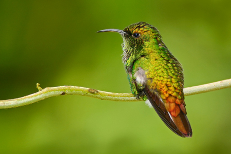 Beautiful hummingbird. Copper-headed Emerald, Elvira cupreiceps, beautiful hummingbird from, green bird, scene in tropical forest, animal in nature habitat. Stock Photo