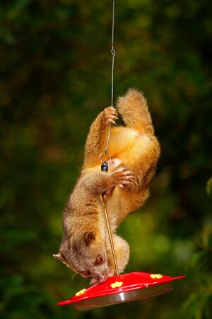 Mammal sucking sugar water from red feeder. Kinkajou, Potos flavus, tropical animal in the nature forest habitat. Mammal in Costa Rica. Widlife scene from nautre. Stock Photo