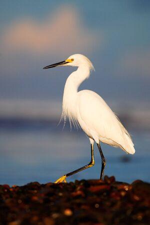 Snowy Egret, Egretta thula, in the coast habitat. Heron with sun in the morning sunrise. Bird with the dark blue sea. Heron in the water. Bird with morning sun. Stock Photo