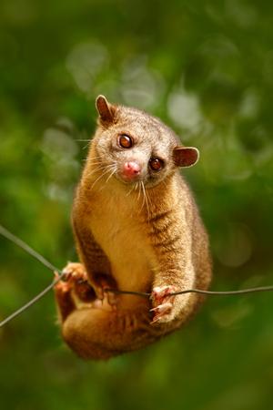 Kinkajou, Potos flavus, tropical animal in the nature forest habitat. Mammal in Costa Rica. Wildlife scene from nature. Wild Kinkajou on the tree.
