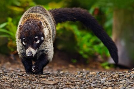 Raccoon, Procyon lotor, walking on white sand beach in Manuel Antonio, Costa Rica, Raccoon in the forest. Raccoon with long tail. Raccoon in the nature habitat.