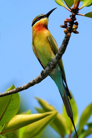 Blue-tailed Bee-eater, Merops philippinus perching on twigs, green and blue background.