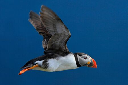 Flying puffin. Atlantic Puffin, Fratercula artica, artic black and white cute bird with red bill sitting on the rock, nature habitat, Iceland. Stock Photo