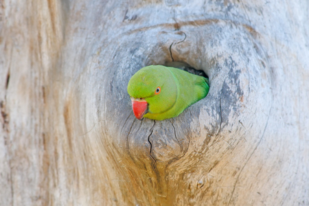 Parrot in the nest hole. Green parrot sitting on tree trunk with nest hole. Nesting Rose-ringed Parakeet, Psittacula krameri. 스톡 콘텐츠