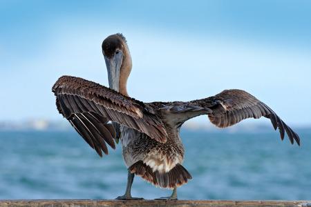 Brown Pelican splashing in water. bird in the dark water, nature habitat, Florida, USA. Wildlife scene from the ocean. Brown pelican in the nature. Big brown bird.