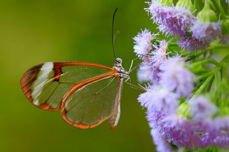 Nero Glasswing, Greta nero, Close-up of transparent glass butterfly on green leaves, scene from tropical forest, Belize, resting on a green leaf. 写真素材