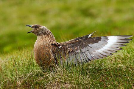 Brown skua, bird in the grass habitat with evening light. Brown skua, Catharacta antarctica, water bird sitting in autumn grass, Norway. Skua in the nature habitat. Stock Photo