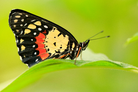 Beautiful butterfly. Butterfly in nature habitat, Costa Rica.