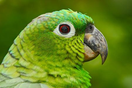 Yellow-crowned Amazon, Amazona ochrocephala auropalliata, portrait of light green parrot, Costa Rica. Detail of close-up portrait of bird.