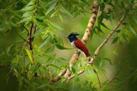 Indian paradise flycatcher, Terpsiphone paradisi, in the nature habitat, Yala National Park, Sri Lanka. Stock Photo