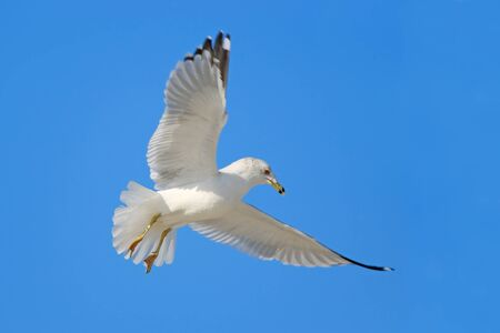 Flying gull with blue sky. Bird in flight with blue sky. Ring-billed Gull, Larus delawarensis.