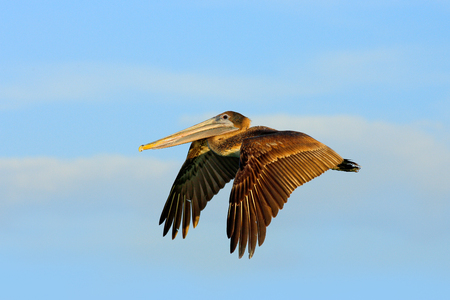 Brown Pelican flying with evening light.