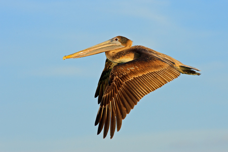 Pelican starting in the blue water. Brown Pelican splashing in water. bird in the dark water, nature habitat, Florida, USA. Stock Photo - 96151135