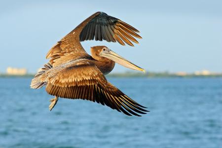 Escena acrobática de acción con pelícano. Pelícano volando en tu cielo azul. Brook Pelican chapoteando en el agua, pájaro en hábitat natural, Florida, Estados Unidos. Foto de archivo