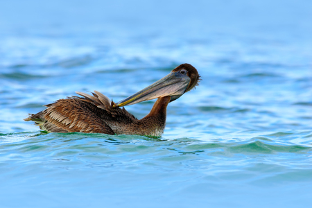Pelican swimming in the blue water. Brown Pelican splashing in water.