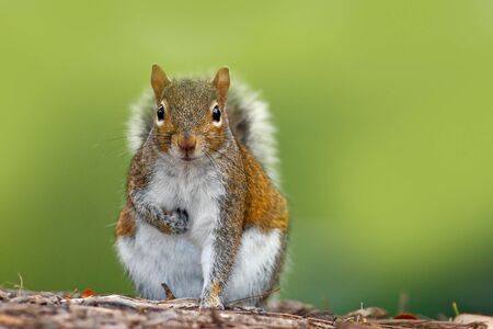 Funny image from wild nature. Gray Squirrel, Sciurus carolinensis, cute animal in the forest ground, Florida, USA. 版權商用圖片