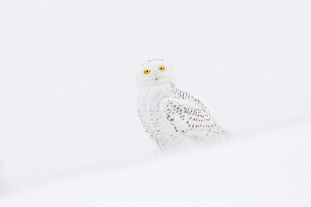 Snowy owl, rare bird sitting on the snow, winter scene with snowflakes in wind. Stock Photo