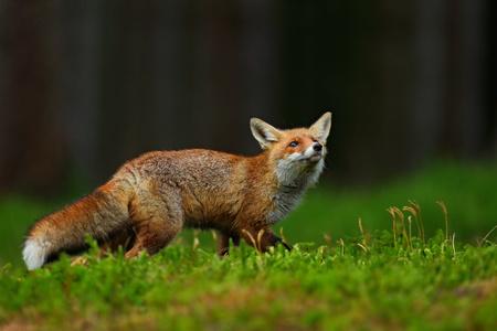 Running Red Fox, Vulpes vulpes, at green forest.