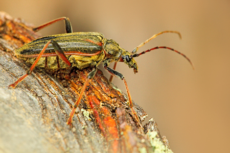 Oxymirus cursor beetle in the nature green forest habitat, sitting on the brown larch, Czech republic, longhorn beetle.
