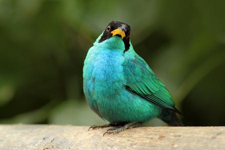 Green Honeycreeper, Chlorophanes spiza, exotic tropic malachite green and blue bird form Costa Rica. Stock Photo