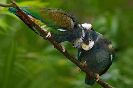 Pair of birds, green and gray parrot, White-crowned Pionus, White-capped Parrot, Pionus senilis, in Costa Rica.