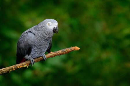 African Gray Parrot, Psittacus erithacus, sitting on the branch, Congo, Africa.