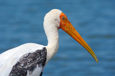 Yellow-billed Stork, Mycteria ibis, sitting on the branch, Tanzania. River with bird in Africa.