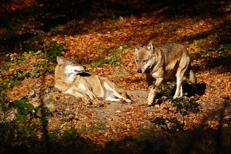 Gray wolf, Canis lupus, in the orange leaves. Two wolfs in the autumn orange forest. Animal in the nature habitat.