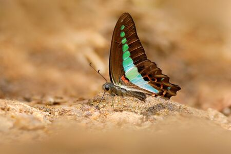 Blue Triangle Butterfly, Graphium sarpedon, and a butterfly found in Sri Lanka that belongs to the swallowtail family. Reklamní fotografie