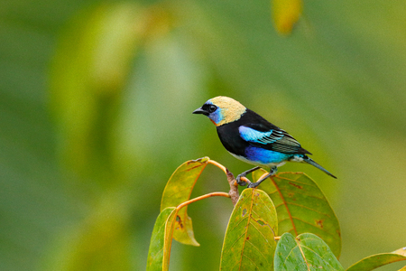 Golden-hooded Tanager, Tangara larvata, exotic tropic blue bird with gold head from Costa Rica. Green moss stick in forest with bird. Wildlife scene from nature. Tanager sitting on green branch. Stock Photo