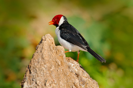 Yellow-billed Cardinal, Paroaria capitata, black and white song bird with red head, sitting on the tree trunk, in the nature habitat, Pantanal, Brazil. Travelling in South America. Wildlife Brazil.