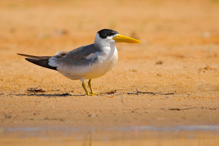 Large-billed tern, Phaetusa simplex, in river sand beach, Rio Negro, Pantanal, Brazil.  Bird in the nature sea habitat. Skimmer drinking water with open wings. Wildlife scene from wild nature. Reklamní fotografie