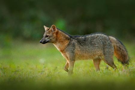 Crab-eating fox, Cerdocyon thous, forest fox, wood fox or Maikong. Wild dog in nature habitat. Face evening portrait. Wildlife, Pantanal, Brazil. Green vegetation, cute wild fox. Travelling Brazil.