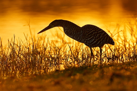 Heron and orange yellow sunset. Evening sun, Rufescent Tiger-Heron, Tigrisoma lineatum, motteled bird with evening back light, in the nature habitat, Pantanal, Brazil. Water bird in nature habitat. Reklamní fotografie