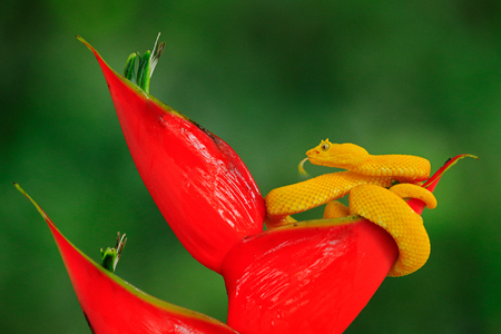 Poison danger viper snake from Costa Rica. Yellow Eyelash Palm Pitviper, Bothriechis schlegeli, on red wild flower. Wildlife scene from tropic forest. Bloom with snake in Central America. Stock Photo