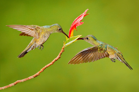 Two hummingbird bird with pink flower. hummingbirds flying next to beautiful red bloom flower, Costa Rica. Action wildlife scene from nature. Bird flying. Animal love.