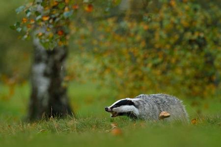 Badger in forest, animal nature habitat, Germany, Europe. Wildlife scene. Wild Badger, Meles meles, animal in wood. European badger, autumn pine green forest. Mammal environment, rainy day.
