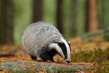 Tejón en el bosque, hábitat de naturaleza animal, Alemania, Europa. Escena de vida salvaje. Wild Badger, Meles meles, animal en madera. Tejón europeo, bosque de pino verde del otoño. Ambiente de mamíferos, día lluvioso.