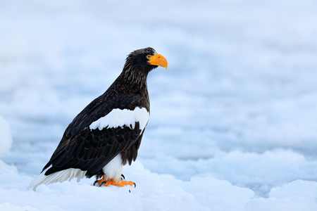 Steller's sea eagle, Haliaeetus pelagicus, bird with catch fish, with white snow, Sakhalin, Russia. Eagle on ice. Winter Japan with snow.  Wildlife action behaviour scene from nature. Wildlife Asia.