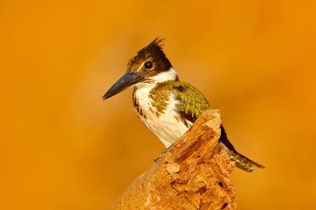 Kingfisher from Brazil. Green and white bird Amazon Kingfisher, Chloroceryle amazona, sitting on the branch, Baranco Alto, Pantanal, Brazil. Evening light with cute bird. Orange background.