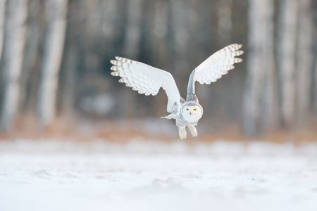 White snow owl fly. Beautiful fly of snowy owl. Snowy owl, Nyctea scandiaca, rare bird flying on the sky. Winter action scene with open wings, Finland. White owl in fly, landing. Larch winter forest. Stock fotó