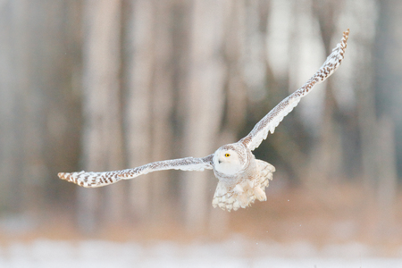 Sneeuwuilvlieg, het bos van de berkboom op achtergrond. Sneeuwuil, Nyctea scandiaca, zeldzame vogel die in de lucht vliegt, winterscène met open vleugels, Finland. Vogelvlucht, koude winter in sneeuwhout. Stockfoto