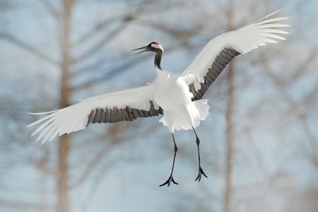 Japan crane in fly.