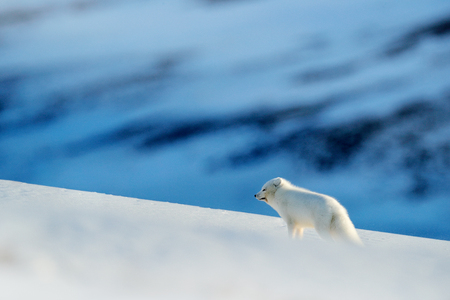 Polar fox in habitat, winter landscape, Svalbard, Norway. Beautiful animal in snow. Running fox. Wildlife action scene from nature, Vulpes lagopus, in the nature habitat. Hills with cute animal. Stock fotó