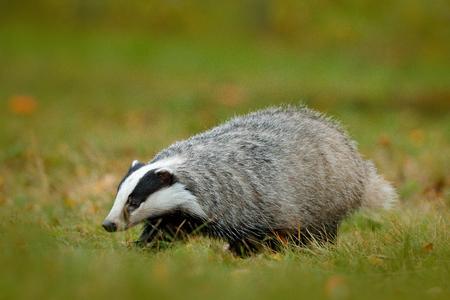 Badger in green grass, animal nature habitat, Germany, Europe. Wildlife scene. Wild Badger, Meles meles, animal in wood. European badger, autumn pine green forest. Mammal environment, rainy day.