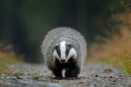 Badger running in forest, animal nature habitat, Germany, Europe. Wildlife scene. Wild Badger, Meles meles, animal in wood. European badger, autumn pine green forest. Mammal environment, rainy day. Stock Photo